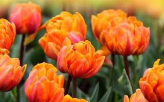 Оранжевые тюльпаны: популярные сорта, посадка и уход