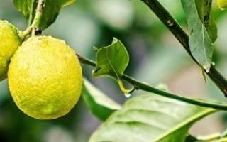 Почему комнатный лимон сбрасывает листья