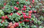 Посадка брусники осенью