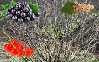 Смородина уход весной советы бывалых садоводов