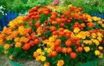 Бархатцы: характеристика, сорта, нюансы выращивания
