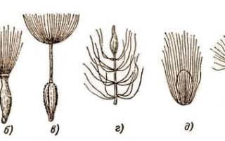 Цветок с семенами парашютиками