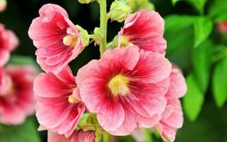 Мальва цветы выращивание