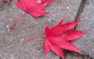 Клен веерный атропурпуреум посадка и уход