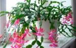Декабрист: особенности и родина комнатного растения