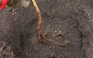 Посадка ремонтантной малины осенью саженцами