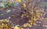 Что делать с крыжовником осенью