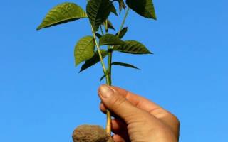 Как вырастить ореховое дерево из ореха грецкого