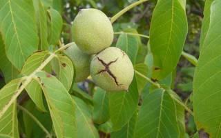 Когда высаживать саженцы грецкого ореха в грунт