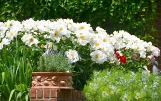 Популярные белые садовые цветы
