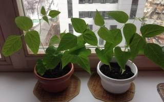 Как сажать фасоль в открытый грунт семенами