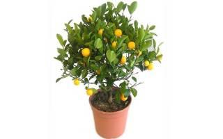 Как размножается мандариновое дерево
