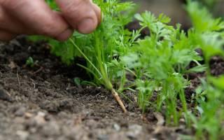 Как правильно посадить морковь весной