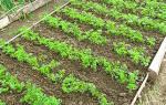 Как вырастить хорошую морковь на даче