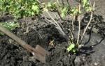 Пересадка черной смородины осенью
