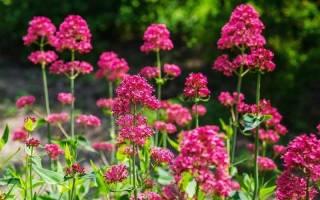 Обзор красных садовых цветов