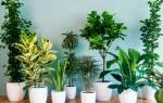 Какие цветы очищают воздух в комнате