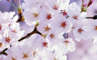Почему не плодоносит вишня что делать