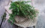 Тимьян выращивание в открытом грунте в подмосковье