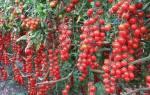 Лучшие сорта томатов черри для теплиц