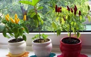 Как вырастить острый перец в горшке дома
