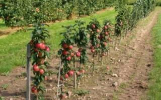 Как обрезать колоновидную яблоню осенью