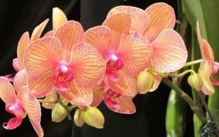 Что делать, если не цветет орхидея фаленопсис в домашних условиях?