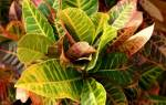 Кротон сбрасывает листья что делать