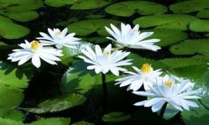 Почему ночные цветы белые