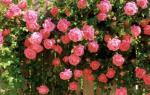 Вьющая роза посадка и уход