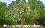 Как сформировать крону яблони у молодого дерева