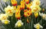 Посадка тюльпанов и нарциссов осенью