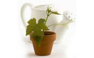 Можно ли вырастить виноград из косточки дома
