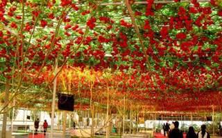 Как вырастить томатное дерево в домашних условиях