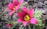 Прострел цветок выращивание