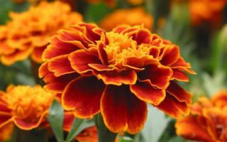 Цветы бархатцы посадка и уход