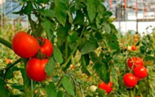 Высадка помидор в теплицу из поликарбоната