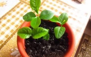 Как пересадить лимонное дерево в домашних условиях