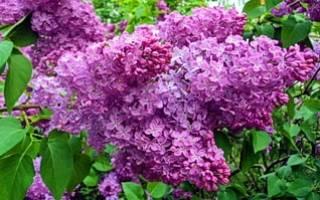 Цветы сирени в народной медицине