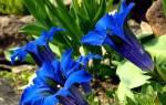 Цветок горечавка посадка и уход