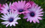 Цветок диморфотека выращивание из семян