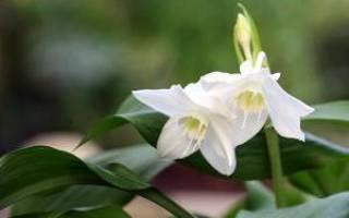 Бразильская лилия цветок комнатный