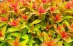 Размножение спиреи черенками осенью