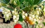 Arbutus unedo или земляничное дерево