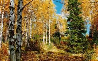 Листья какого дерева опадают осенью зелеными