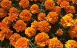 Бархатцы махровые: разновидности и особенности выращивания