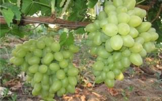 Подарок запорожья виноград посадка и уход