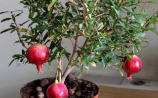 Комнатный гранат бейби выращивание из семян
