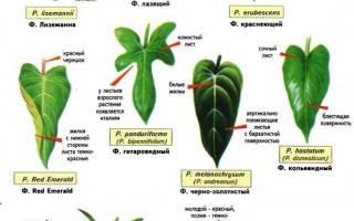 Виды и сорта филодендрона