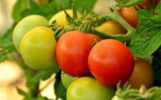 Урожайность томатов в теплице с кв м